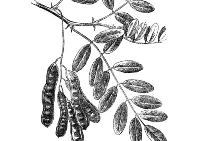 04 – Falsa acacia