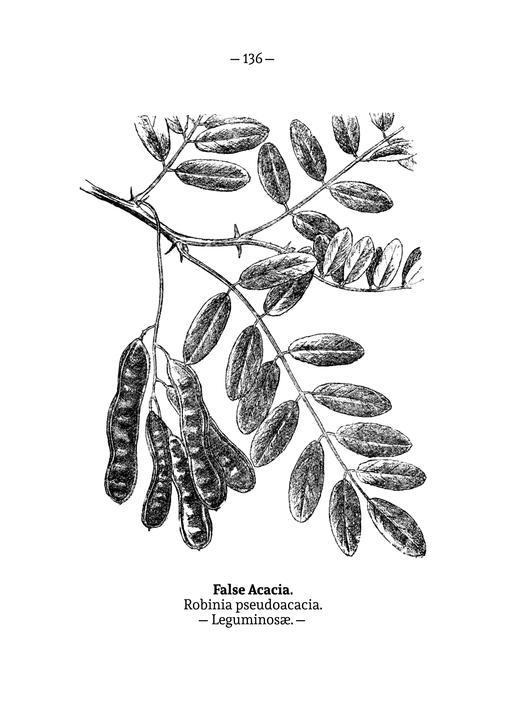 Laurel en Wikimedia